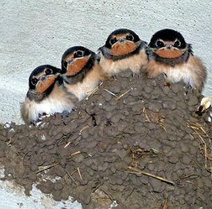 free画像,ツバメの巣,雛