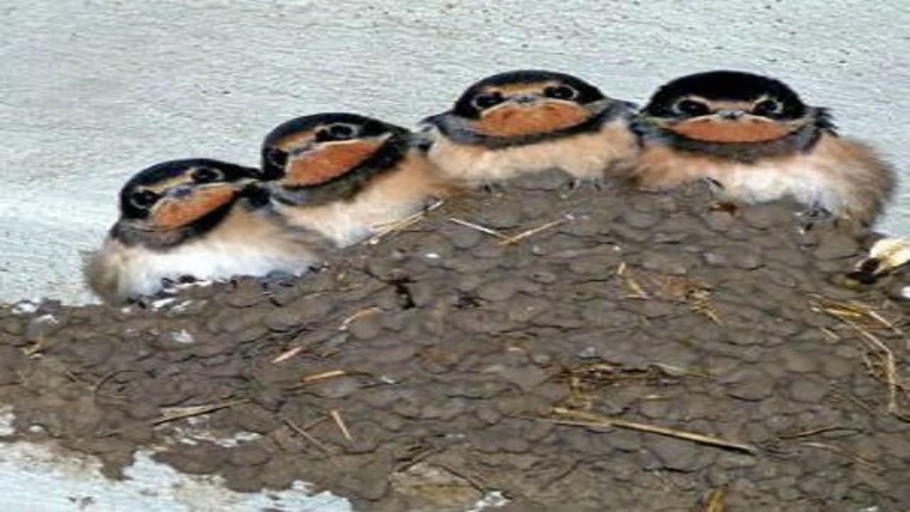 free画像,ツバメ雛4羽,ツバメの巣