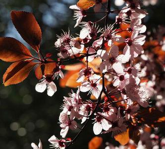free画像,山桜