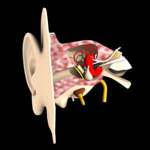 free画像,耳模型,内部構造